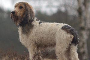big basset hound from Vendée photo 3