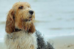 big basset hound from Vendée photo 5