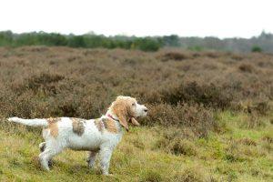 big basset hound from Vendée photo 6