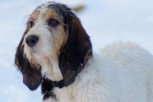 big basset hound from Vendée photo 7