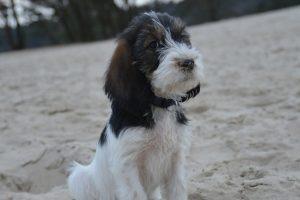 large basset hound from Vendée photo 8