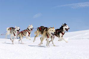 El husky siberiano en el trineo