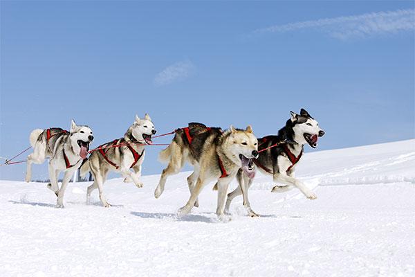husky sibérien en traîneau
