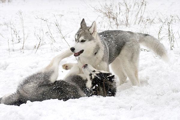 husky sibérien qui joue