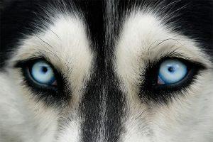 Ojos azules de un husky siberiano