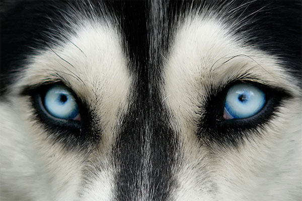 yeux bleu husky sibérien