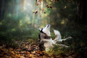 El husky siberiano en las hojas