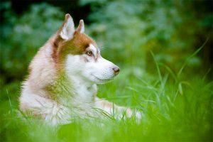 El husky siberiano en la hierba