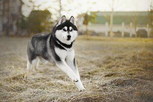 El husky siberiano en el prado