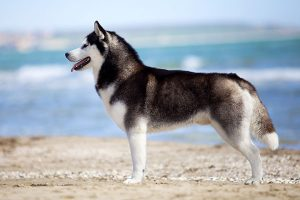 La postura del husky siberiano