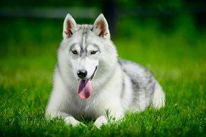 Husky siberiano recostado