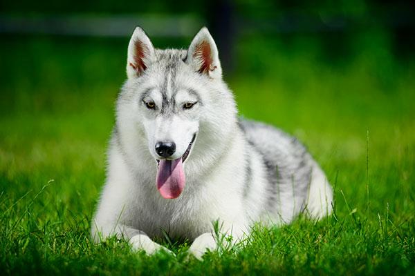 husky sibérien couché