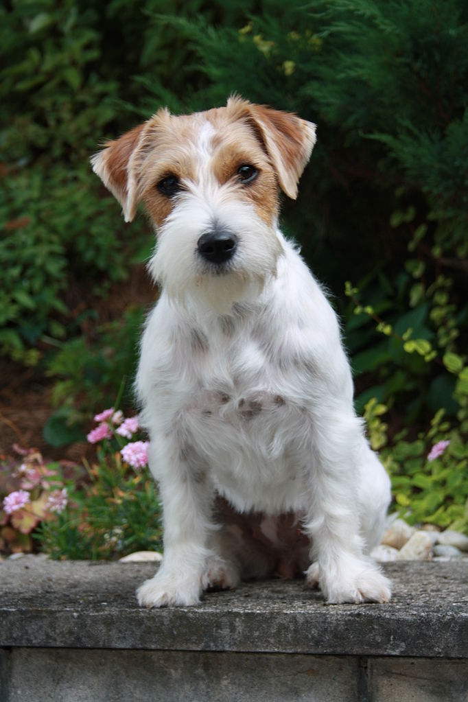 jack russell terrier personnalité