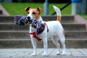 jack russell terrier foto 2