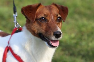 jack russell terrier photo 3