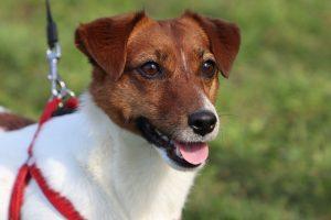 jack russell terrier foto 3
