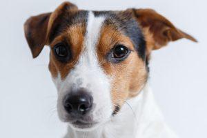 jack russell terrier foto 4