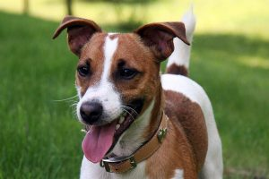 jack russell terrier photo 5