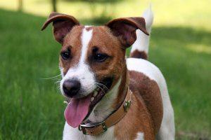 jack russell terrier foto 5
