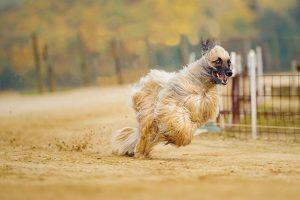Afghan greyhound photo 2