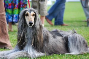 Afghan greyhound photo 3