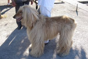 Afghan greyhound photo 4