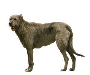 Irish greyhound