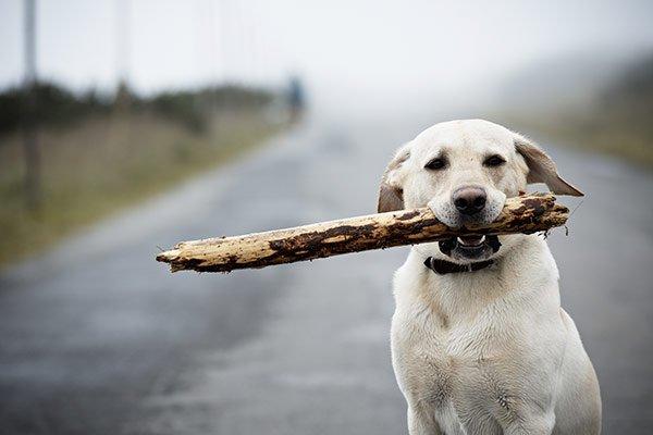 labrador avec un baton
