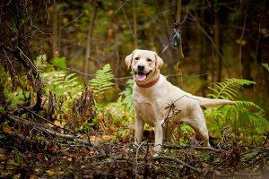 labrador en el bosque