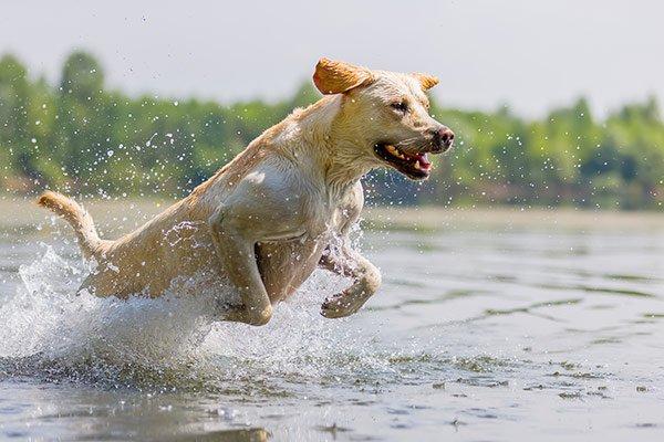 labrador qui saute dans l'eau