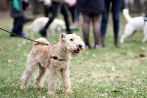lakeland terrier photo 3