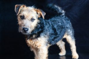 lakeland terrier photo 4
