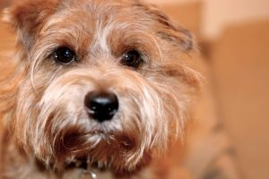 norfolk terrier photo 2