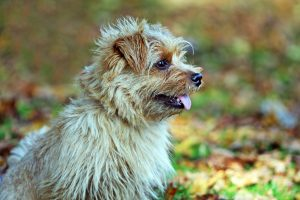 norfolk terrier photo 3