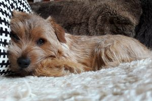 norfolk terrier photo