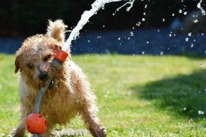 norfolk terrier photo 4