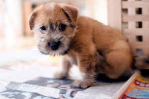 norfolk terrier photo 5