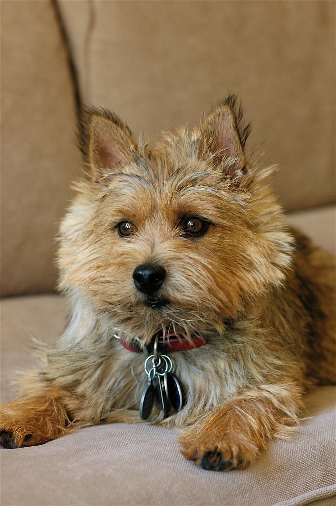 norwich terrier personnalité