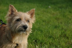 Norwich Terrier All About This Breed Dogsplanet Com