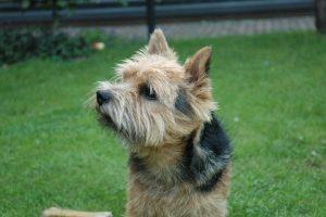 foto del norwich terrier