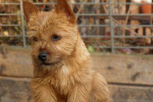 norwich terrier foto 4