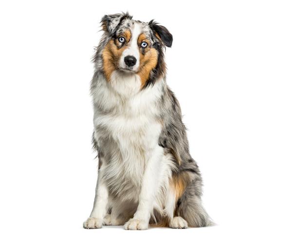 Apariencia de la raza de perro pastor australiano
