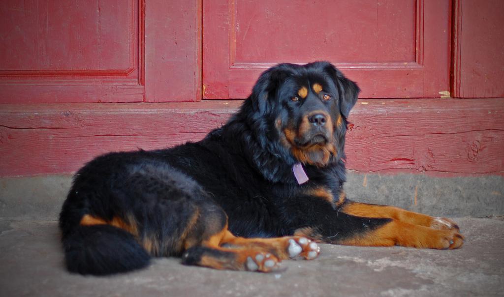 perro mastin tibetano