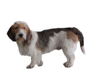 little basset hound from Vendée