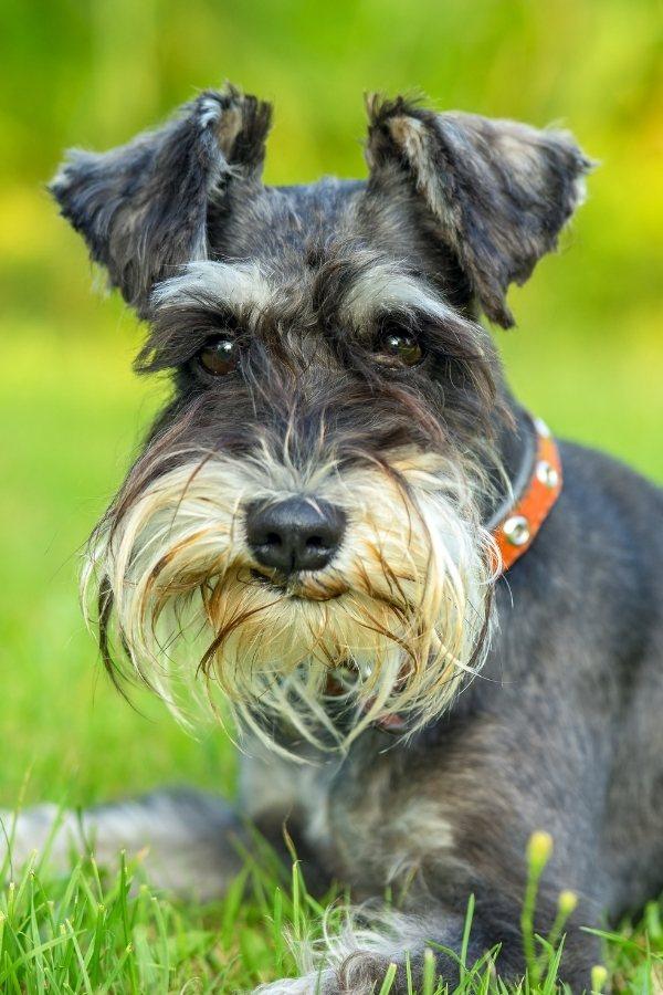 raza de perro schnauzer