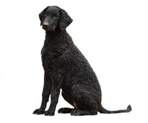curly-haired retriever