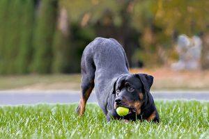 rottweiler qui joue à la balle