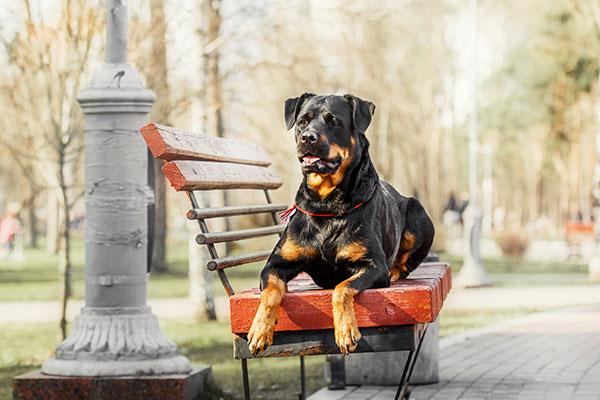 rottweiler sur un banc de parc