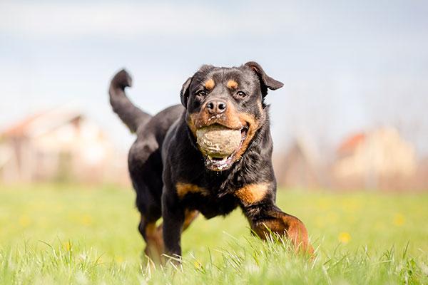 rottweiler dans le champs