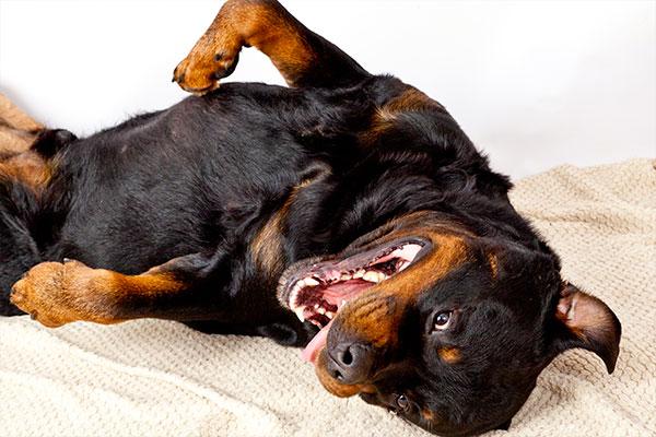 rottweiler couché